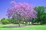 Jacaranda-Tree-F